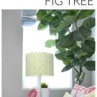 a beautiful and healthy fiddle leaf fig tree with a big secret